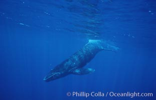 North Pacific humpback whale, calf. Maui, Hawaii, USA, Megaptera novaeangliae, natural history stock photograph, photo id 05955