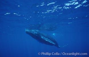 North Pacific humpback whale, calf. Maui, Hawaii, USA, Megaptera novaeangliae, natural history stock photograph, photo id 05958