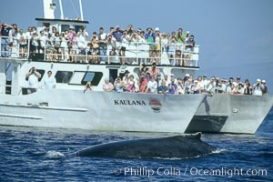 Image 00347, North Pacific humpback whale rounds out in front of whale watching boat. Maui, Hawaii, USA, Megaptera novaeangliae