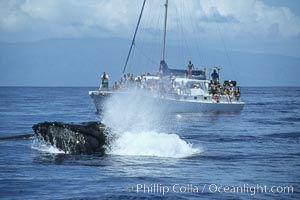 Humpback whale surface active group, male escort head lunging, whale watching boat, Megaptera novaeangliae, Maui