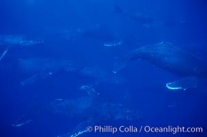 North Pacific humpback whale, 11 whales in active group, Megaptera novaeangliae, Maui