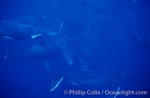 North Pacific humpback whale, large active group, Megaptera novaeangliae, Maui