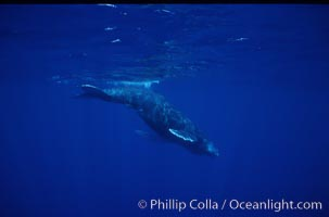 North Pacific humpback whale calf, Megaptera novaeangliae, Maui