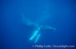 North Pacific humpback whale, cow in active group, Megaptera novaeangliae, Maui