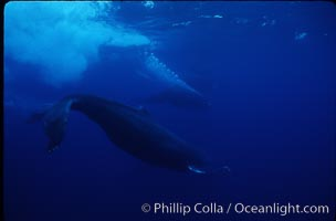 North Pacific humpback whale, active group, Megaptera novaeangliae, Maui