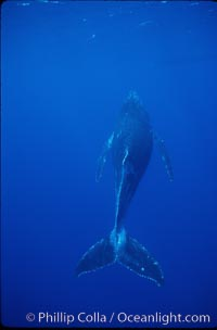 Image 01308, North Pacific humpback whale, calf. Maui, Hawaii, USA, Megaptera novaeangliae, Phillip Colla / HWRF, all rights reserved worldwide. Keywords: animal, baby, balaenopteridae, calf, cetacea, cetacean, endangered, endangered threatened species, hawaii, hawaiian islands, hawaiian islands humpback whale national marine sanctuary, hump back whale, humpback, humpback whale, humpback whale juvenile calf, humpbacked whale, juvenile, juvenile calf, mammal, marine, marine mammal, maui, megaptera, megaptera novaeangliae, mysticete, mysticeti, national marine sanctuaries, nature, north pacific humpback whale, novaeangliae, ocean, oceans, pacific, research, rorqual, sea, underwater, usa, whale, wildlife, young.   NOTE:  This photograph was taken during Hawaii Whale Research Foundation research activities conducted under NOAA/NMFS and State of Hawaii permit.   Its use is subject to certain restrictions.   Please contact the photographer for more information.