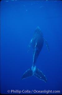 North Pacific humpback whale, calf. Maui, Hawaii, USA, Megaptera novaeangliae, natural history stock photograph, photo id 01308