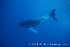 North Pacific humpback whale, calf, Megaptera novaeangliae, Maui
