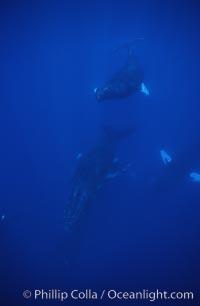 Humpback whale competitive group, Islands Humpback Whale NMS, Megaptera novaeangliae, Maui