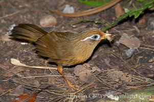 Hwamei, a bird native to China, Taiwan and Indochina, Garrulax canorus