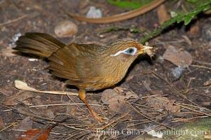 Hwamei, a bird native to China, Taiwan and Indochina, Garrulax canorus