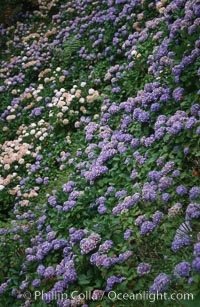 Hydrangea flowers. Sao Miguel Island, Azores, Portugal, natural history stock photograph, photo id 05471