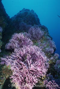 Hydrocoral, Farnsworth Banks. Catalina Island, California, USA, Stylaster californicus, Allopora californica, natural history stock photograph, photo id 04703