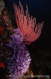 Hydrocoral and gorgonian, Stylaster californicus, Allopora californica, San Clemente Island