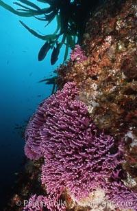 Hydrocoral. San Clemente Island, California, USA, Stylaster californicus, Allopora californica, natural history stock photograph, photo id 05528