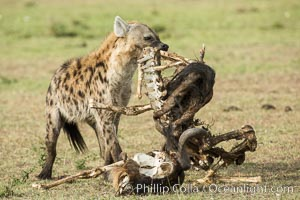Hyena consuming wildebeest carcass, Kenya, They hyena has strong jaws that allow it to break carcass bones and eat the marrow within, Crocuta crocuta, Olare Orok Conservancy