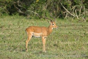 Impala, Maasai Mara, Kenya. Maasai Mara National Reserve, Kenya, Aepyceros melampus, natural history stock photograph, photo id 29956