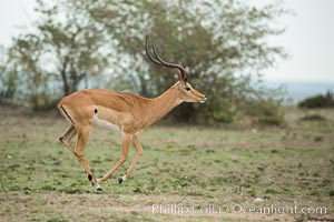 Impala, Maasai Mara, Kenya, Aepyceros melampus, Olare Orok Conservancy