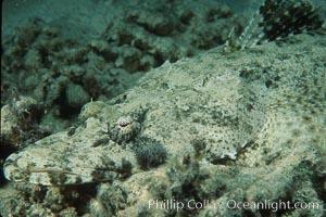 Crocodile fish. Egyptian Red Sea, Papilloculiceps longiceps, natural history stock photograph, photo id 05242
