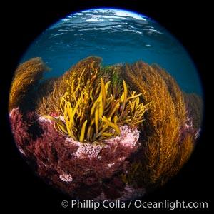 Marine algae including invasive sargassum, Coronado Islands, Baja California, Mexico., Sargassum horneri, natural history stock photograph, photo id 34574