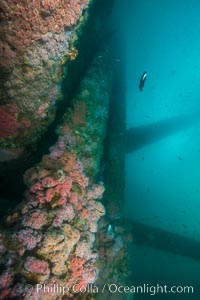 Oil Rig Ellen underwater structure covered in invertebrate life. Long Beach, California, USA, natural history stock photograph, photo id 31105