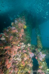 Oil Rig Ellen underwater structure covered in invertebrate life. Long Beach, California, USA, natural history stock photograph, photo id 31106