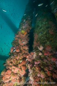 Oil Rig Ellen underwater structure covered in invertebrate life, Long Beach, California