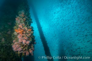 Oil Rig Ellen underwater structure covered in invertebrate life. Long Beach, California, USA, natural history stock photograph, photo id 31114