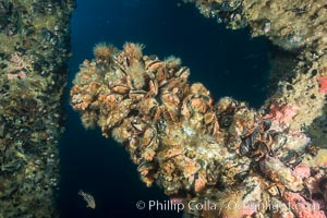 Oil Rig Elly underwater structure covered in invertebrate life. Long Beach, California, USA, natural history stock photograph, photo id 31137
