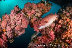 Invertebrate life covers the undersea pilings of a oil platform, Long Beach, California