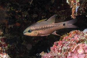 Iridescent Cardinalfish, Pristiapogon kallopterus, Fiji, Makogai Island, Lomaiviti Archipelago