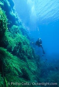 Kelp covered wall of Isla Afuera, diver, Eisenia arborea, Guadalupe Island (Isla Guadalupe)