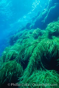 Kelp covered wall of Isla Afuera. Guadalupe Island (Isla Guadalupe), Baja California, Mexico, Eisenia arborea, natural history stock photograph, photo id 03725
