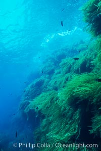 Kelp covered wall of Isla Afuera, Eisenia arborea, Guadalupe Island (Isla Guadalupe)