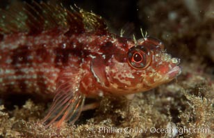 Island kelpfish. San Clemente Island, California, USA, Alloclinus holderi, natural history stock photograph, photo id 07063