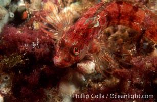 Island kelpfish, Coronado Islands. Coronado Islands (Islas Coronado), Baja California, Mexico, Alloclinus holderi, natural history stock photograph, photo id 00634