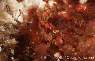 Island kelpfish. San Clemente Island, California, USA, Alloclinus holderi, natural history stock photograph, photo id 07064