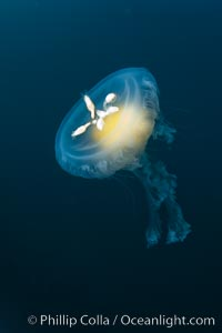 Fried-egg jellyfish, drifting through the open ocean, Phacellophora camtschatica, San Diego, California