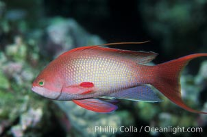 Jewel fairy basslet (male color form), also known as lyretail anthias, Pseudanthias squamipinnis, Egyptian Red Sea