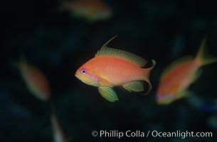 Jewel fairy basslet (female color form), also known as lyretail anthias. Egyptian Red Sea, Pseudanthias squamipinnis, natural history stock photograph, photo id 07091