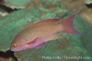 Lyretail fairy basslet, male., Pseudanthias squamipinnis, natural history stock photograph, photo id 07862