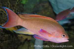 Image 08887, Sea goldie., Pseudanthias squamipinnis, Phillip Colla, all rights reserved worldwide. Keywords: animal, anthias, fairy basslet, fish, indo-pacific, jewel fairy basslet, lyretail anthias, lyretail coralfish, lyretail fairy basslet, marine fish, orange basslet, orange seaperch, pseudanthias squamipinnis, red coral perch, scalefin anthias, scalefin basslet, scalefin fairy basslet, sea goldie, underwater.