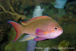 Sea goldie., Pseudanthias squamipinnis, natural history stock photograph, photo id 08888