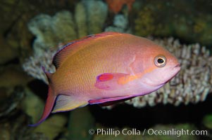 Sea goldie., Pseudanthias squamipinnis, natural history stock photograph, photo id 08889