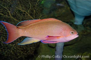 Sea goldie., Pseudanthias squamipinnis, natural history stock photograph, photo id 08890