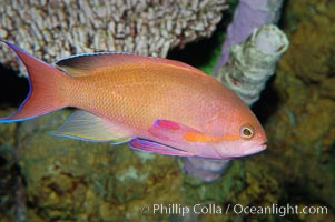 Sea goldie., Pseudanthias squamipinnis, natural history stock photograph, photo id 08893