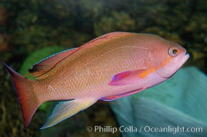 Sea goldie., Pseudanthias squamipinnis, natural history stock photograph, photo id 08895