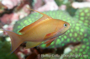 Lyretail fairy basslet, female., Pseudanthias squamipinnis, natural history stock photograph, photo id 11795