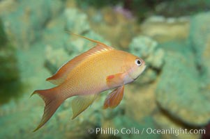 Lyretail fairy basslet, female., Pseudanthias squamipinnis, natural history stock photograph, photo id 11796