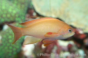 Lyretail fairy basslet, female., Pseudanthias squamipinnis, natural history stock photograph, photo id 11797